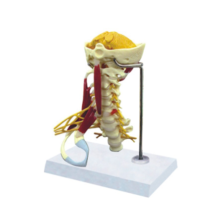 EP-1367 Senior Cervical Vertebrae with muscles Model