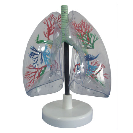 EP-290 Transparent Lung Model