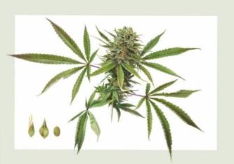 超弹性大麻提取物  NioSkin™ CBD Crystal