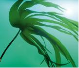 抗污染藻 Phycosaccharide AP