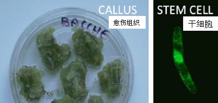 葡萄干细胞  G-CELL