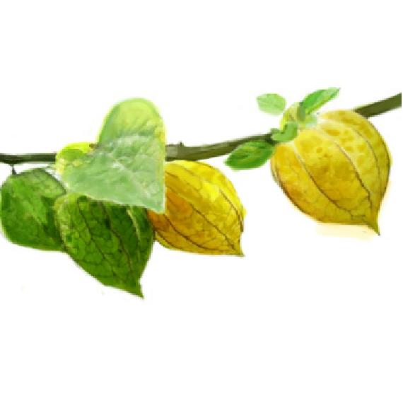 酸浆果抗氧化精粹INKA CAPULI