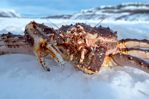 智利帝王蟹(实时批发价格咨询客服13163761175)