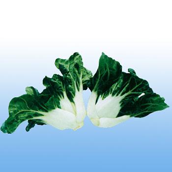 特选矮脚奶白菜种