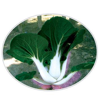 中脚奶白菜种