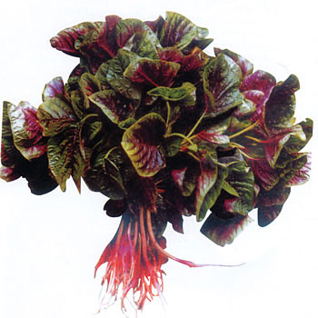 花红苋菜种(叶片红多绿少)