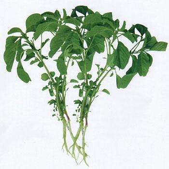 马屎苋菜种