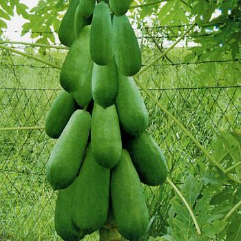 穗杂选一木瓜种