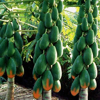 夏威尔木瓜种