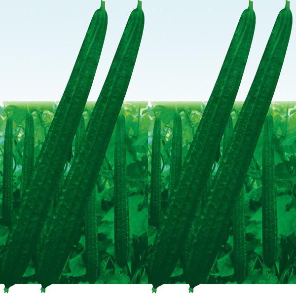 茅岗丝瓜种(春秋型)