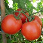 金满堂番茄F1(杂交一代硬身番茄)