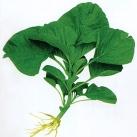 圆叶青苋菜种