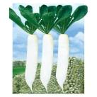 短叶十三萝卜种