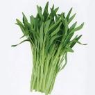 白骨柳叶空心菜种