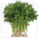 耐热香菜(芫茜)种