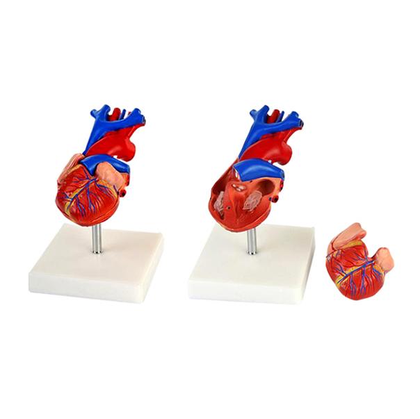 EP-280 Heart Model