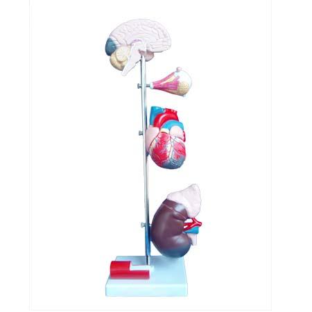 EP-1115 Hypertension Model