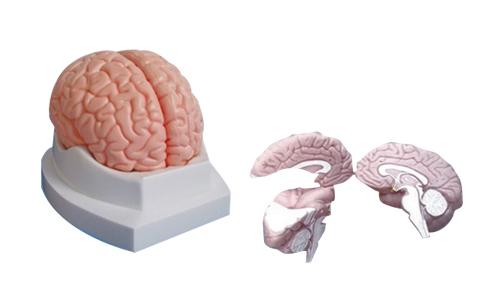 EP-667 Brain Model