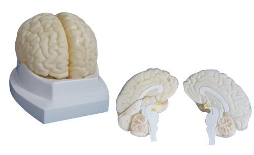 EP-668 Brain Model