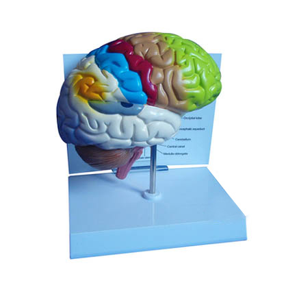 EP-1067 Brain Model