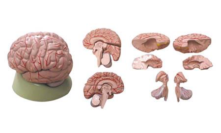 EP-1069 Brain Model