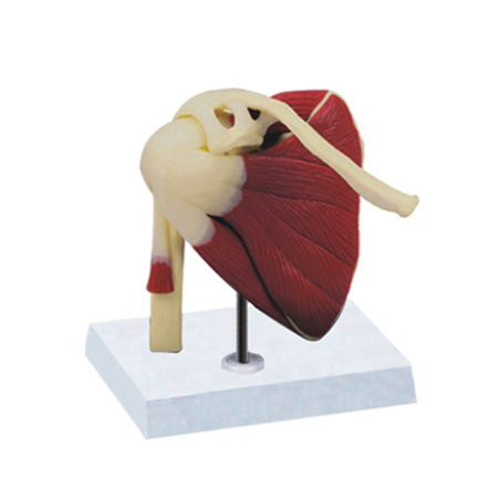 EP-1366 Shoulder Joint with muscles & ligaments Model