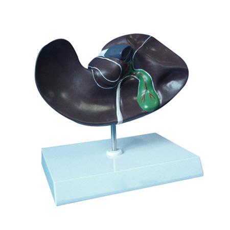 EP-650 Liver Model