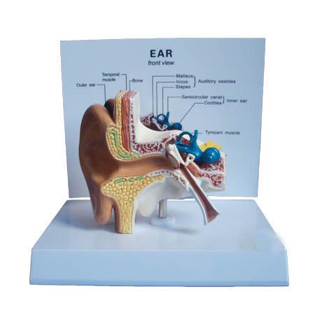 EP-1227 Ear model
