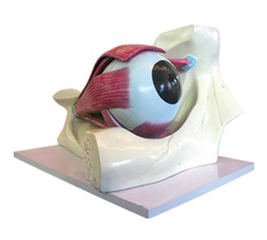 EP-675 Eye Model