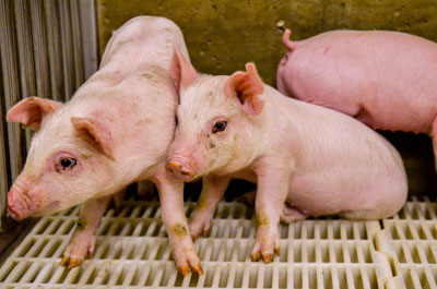Classical swine fever Antibody ELISA