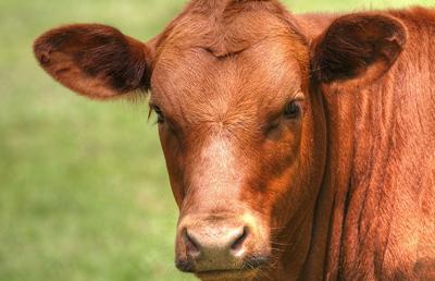 Contagious bovine pleuropneumonia Antibody Test Kit